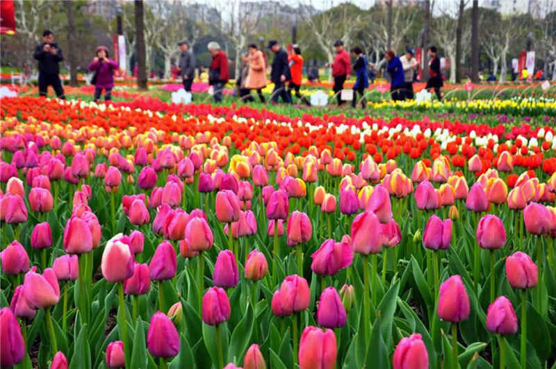 Gak Cuma Belanda Atau Turki Ini Dia Negara Dengan Festival Bunga Tulip Tercantik Priyadi Abadi
